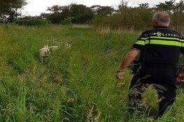Ontsnapte schapen brengen verkeer langs N249 in gevaar