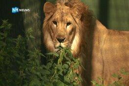 Leeuw Simba haalt voor het eerst een frisse neus