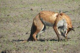 Bizar tafereel: vos op pinnen gespietst in weiland bij Petten