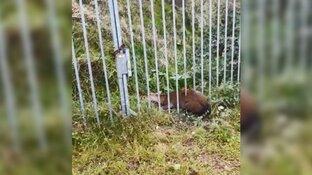 Politie redt hert uit benarde situatie