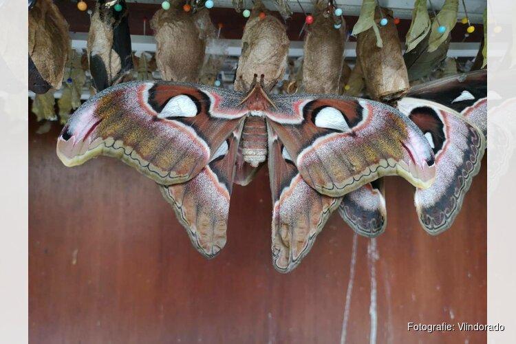 Twee Atlasvlinders geboren in Vlindorado op laatste dag voor winterseizoen